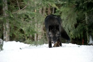 Ein Wolf hat sich den Überlebenden des Absturzes genähert (Quelle: Universum Film)